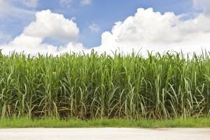 Sockerrör 11